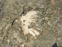 Golfo del Cofano - conchiglie fossili - 29 luglio 2009  - San vito lo capo (1929 clic)