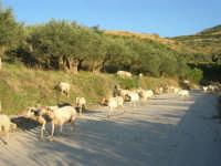 gregge di pecore - 2 ottobre 2007  - Poggioreale (1360 clic)