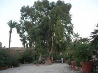 l'albero all'interno del Baglio Isonzo - 19 settembre 2007  - Scopello (861 clic)