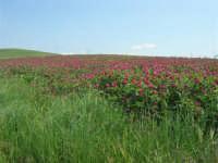 la campagna a primavera - sulla - 3 maggio 2009  - Buseto palizzolo (1801 clic)