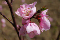 fiori rosa, da frutta - 12 marzo 2008  - Alcamo (1048 clic)