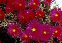 fiori  - Piana degli albanesi (3151 clic)