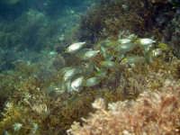 riserva di capo gallo, branco di piccole salpe in cerca di cibo PALERMO MICHELE FERRARA