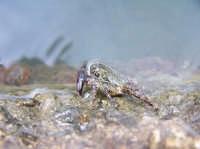 un granchio cerca un pò di ristoro nell'acqua o forse qualcosa da mangiare..  - Lampedusa (3806 clic)