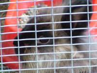 Foto del coniglietto Peggy.  - Villafranca tirrena (4716 clic)