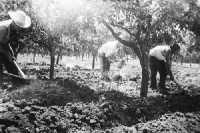 Restauro - Scavo delle saie utilizzate per irrigare gli agrumeti, cinquant'anni fa. -Archivio di famiglia-  - Catania (9656 clic)