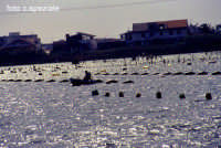 Allevamenti di molluschi nel lago piccolo.  - Ganzirri (6387 clic)