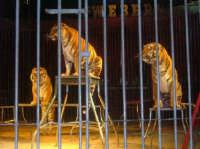 Tigri del Bengala (Weber Circus)  - Palermo (2394 clic)