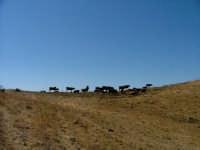 mucche al sole CASTELLANA SICULA Antonio Di Gangi