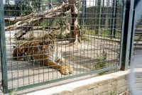 Esemplari di tigre  al parco zoo di Catania   - Catania (6029 clic)