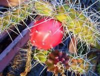 Orto botanico. Pianta grassa PALERMO Salvatore Riva