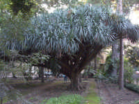Orto botanico. Dracena PALERMO Salvatore Riva