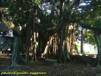 Orto Botanico - Ficus Magnolioide  - Palermo (8058 clic)