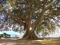 Splendido Ficus sul belvedere del Duomo  - Monreale (6519 clic)