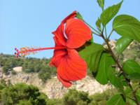 Hibiscus sullo sfondo del Monte Pellegrino PALERMO Guido Ruggiero