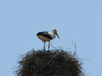 Cicogna nel suo nido (Lago Arancio)  - Sambuca di sicilia (3272 clic)