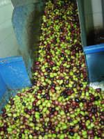 OLEIFICIO PALMERI. Le olive già lavate con un elevatore a coclea vengono convogliate al frangitore.  - Montagnareale (3633 clic)