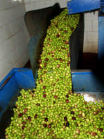OLEIFICIO PALMERI. Olive della varietà Biancolilla.  - Montagnareale (3434 clic)