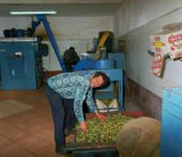 Oleificio Palmeri:le olive vengono defogliate.  - Montagnareale (3275 clic)