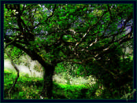 Mulino di Capo:la vecchia Quercia SPERIAMO CHE NON VENGA MAI TAGLIATA! Se io fossi il Sindaco la tutelerei,perchè è un elemento molto importante del paesaggio che arricchisce il mulino donandogli un'atmosfera particolare.   - Montagnareale (1829 clic)