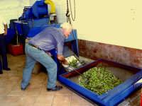 OLEIFICIO PALMERI: dopo essere state pesate le olive vengono versate in una tramoggia e mediante nastro trasportatore vengono convogliate verso il defogliatore che provvede a eliminare le foglie e piccolo corpi estranei.  - Montagnareale (4429 clic)