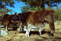 un vitellino prende il latte dalla  madre.  - San fratello (3895 clic)