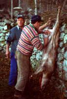 Macellazzione di un maiale selvatico nel parco dei nebrodi.  - San fratello (11372 clic)