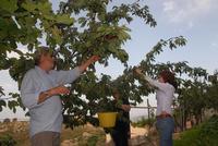 Raccolta delle ciliegie nella azienda agricola di Sciammetta rosario- L'azienda agricola oltre alle ciliegie produce anche un ottimo olio extravergine di oliva della varietà ogliarola Messinese molito nel Frantoio Oleario Palmeri di Montagnareale.  - Montagnareale (7101 clic)