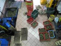 OLEIFICIO PALMERI-molitura delle olive 2010/2011-DSCN0240   - Montagnareale (4059 clic)