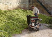 OLEIFICIO PALMERI: olive della varietà BIANCOLILLA.  - Montagnareale (2950 clic)