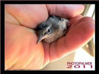 Un uccellino spaurito mi ha fatto visita in casa...DSC_5842   - Montagnareale (4284 clic)