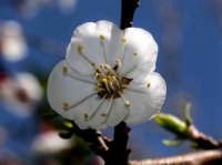 Macro:Fiore di Albicocco.  - Montagnareale (4284 clic)