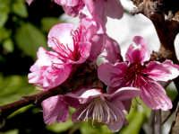 Macro:Fiore di Pesco.  - Montagnareale (3725 clic)