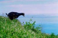 La capretta;sullo sfondo le isole Eolie.  - Montagnareale (3292 clic)