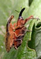 MACROFOTOGRAFIA- Due simpatici insetti Innamorati  - Montagnareale (3747 clic)