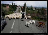 Gregge.  - Piedimonte etneo (3751 clic)