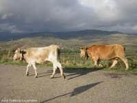 Mucche al pascolo.(2004)  - Maniace (3995 clic)
