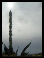 Soggetto: Vegetazione Tipica Fotocamera: Nikon Coolpix 2100 Software: Adobe Photoshop CS2 Luogo: Agrigento Data: 17 Aprile 2oo6 Ora: 15:43  - Agrigento (2274 clic)