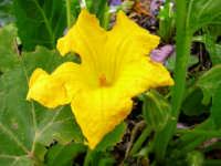 Fiore di zucchina  - Alcamo (2007 clic)