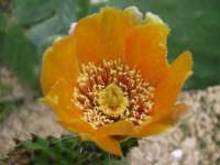Fiore di fichi d'india  - Alcamo (1994 clic)