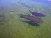 Pesci dentro la vasca della Fontana Araba  - Alcamo (1042 clic)