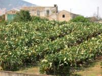 Una distesa di piante di fichidindia  - Alcamo (859 clic)