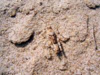Grillo mimetizzato, spiaggia rovente di Castellamare del Golfo  - Castellammare del golfo (1610 clic)