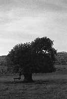 carrubo   - Modica (3144 clic)
