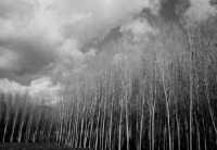 alberi al cielo  - Piazza armerina (2793 clic)