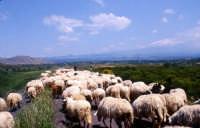 Gregge al pascolo con lo sfondo dell'Etna  - Paternò (2775 clic)