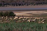 Pecore al pascolo lungo il fiume Simeto (2) - Ponte barca - Foto di Giuseppe Accordino  - Paternò (2610 clic)