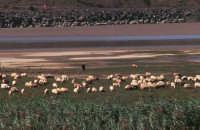 Pecore al pascolo lungo il fiume Simeto (1) - Ponte barca - Foto di Giuseppe Accordino  - Paternò (2380 clic)