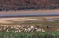 Pecore al pascolo lungo il fiume Simeto - Ponte barca - Foto di Giuseppe Accordino  - Paternò (3038 clic)