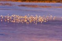 Volo di Gabbiani sul fiume Simeto  - Catania (2632 clic)